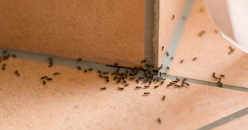 métodos para eliminar formigas doceiras