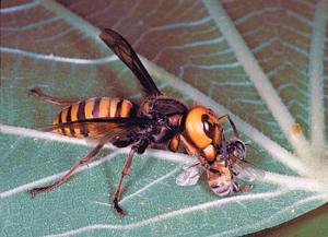 terceira opção de insetos venenosos