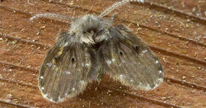 Saiba mais sobre o mosquito de banheiro