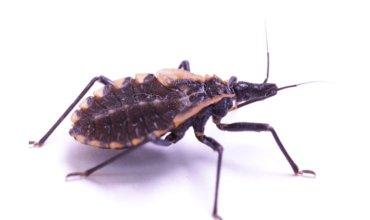 doença de chagas e seu transmissor
