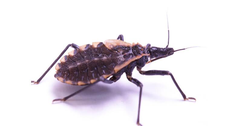 foto do barbeiro, inseto transmissor da doença de chagas