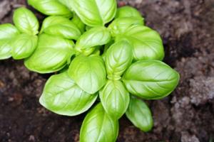 uma das plantas repelentes de insetos