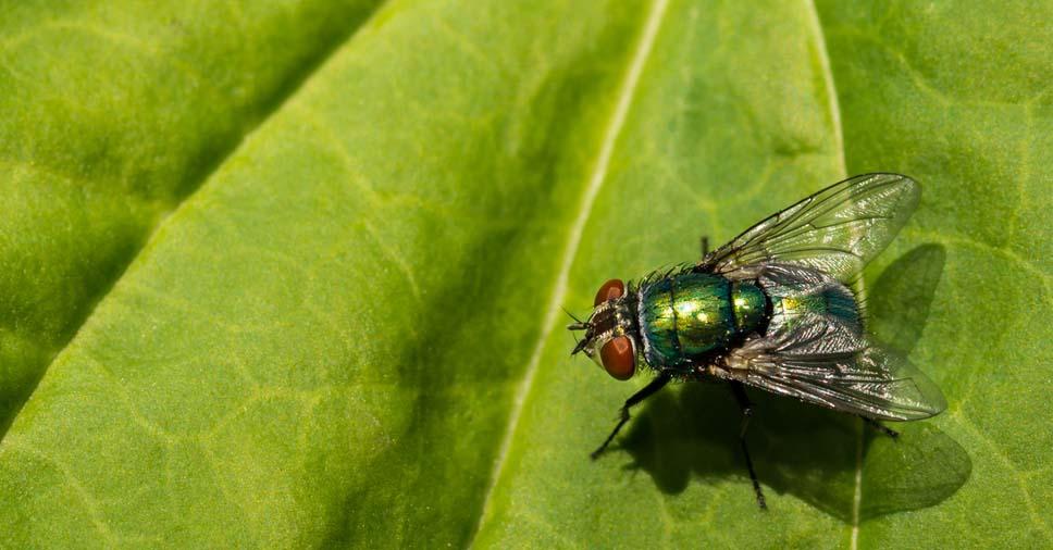 informaçõe sobre a mosca varejeira