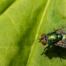 Informações sobre mosca varejeira