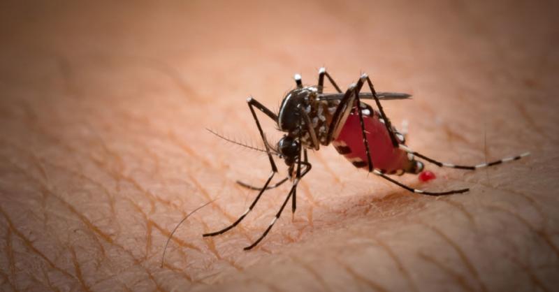 diferença entre mosquito e pernilongo