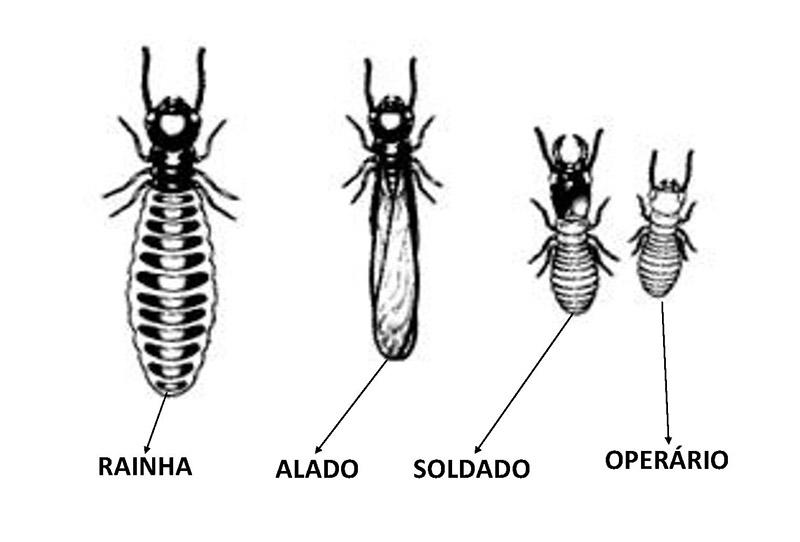 rainhas e o ciclo de vida dos cupins