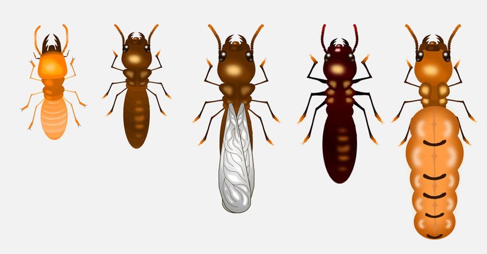 conhecendo os insetos: cupins