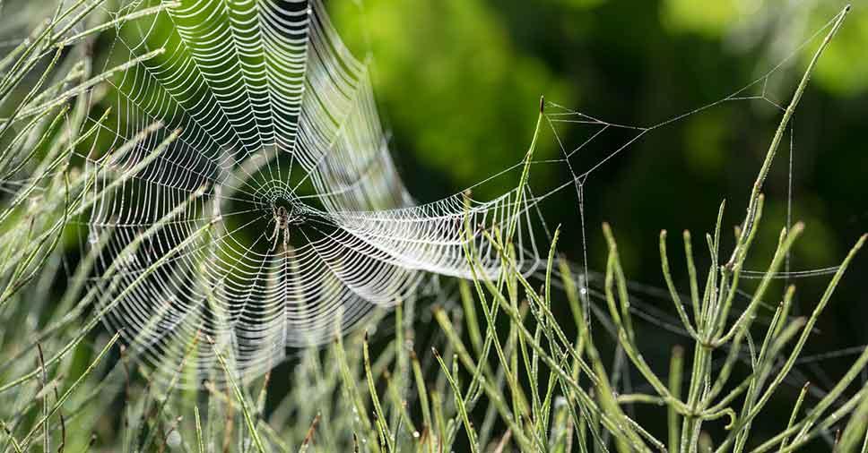 aranhas de grama