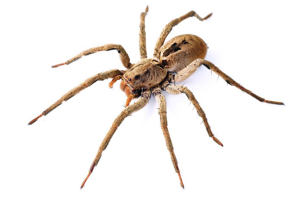 saiba sobre aranhas de grama