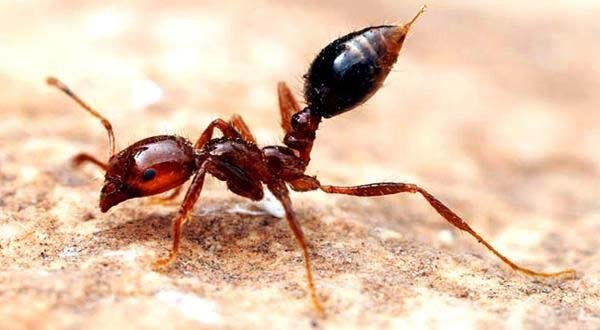 um dos tipos de formigas domésticas
