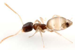 tipos de formigas fantasmas