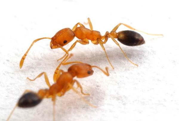 tipos de formigas domésticas: faraó
