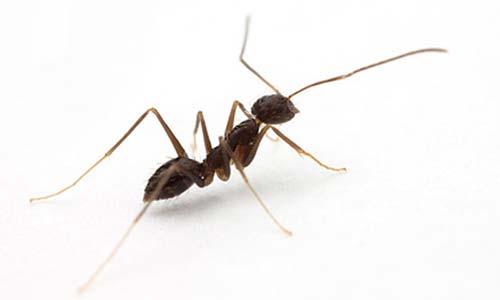 tipos de formigas locas