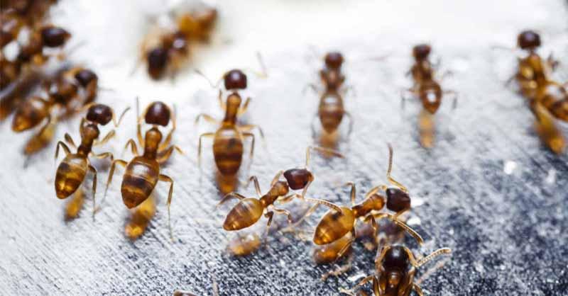 Conheça os tipos de formigas domésticas