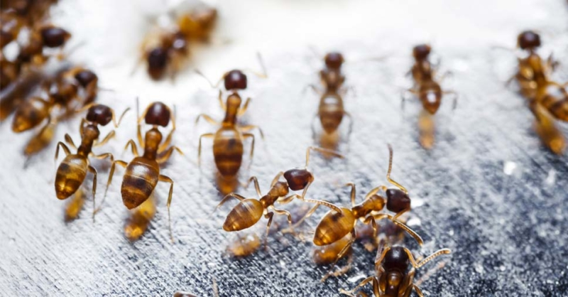 tipos de formigas