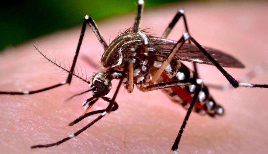 entendendo as diferenças entre Aedes aegypti e pernilongo