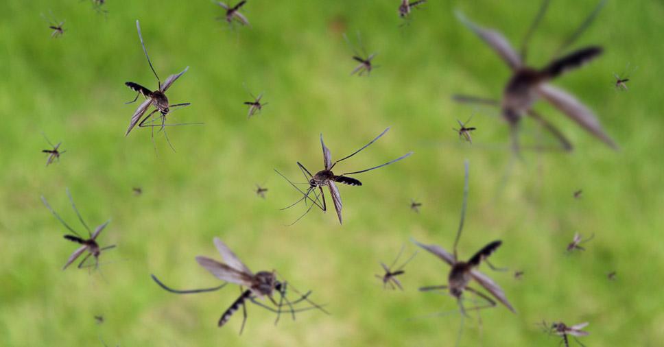 Aedes aegypti e pernilongo