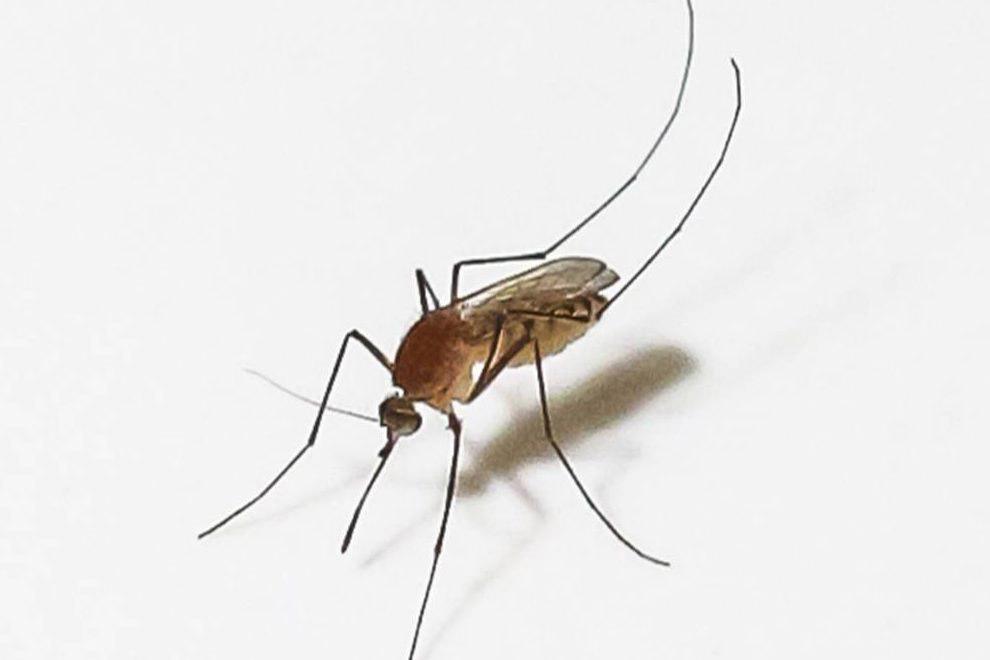 o que diferencia Aedes aegypti e pernilongo