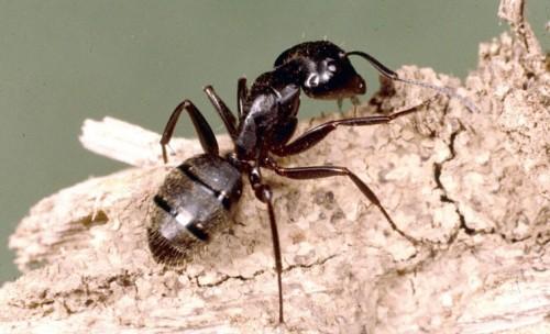 identificação da formiga carpinteira