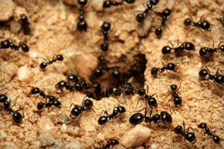 habitat da formiga carpinteira