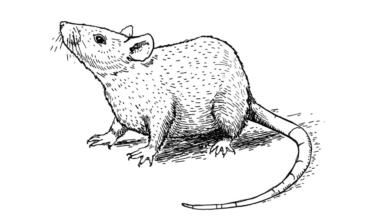 diferença entre rato e camundongo
