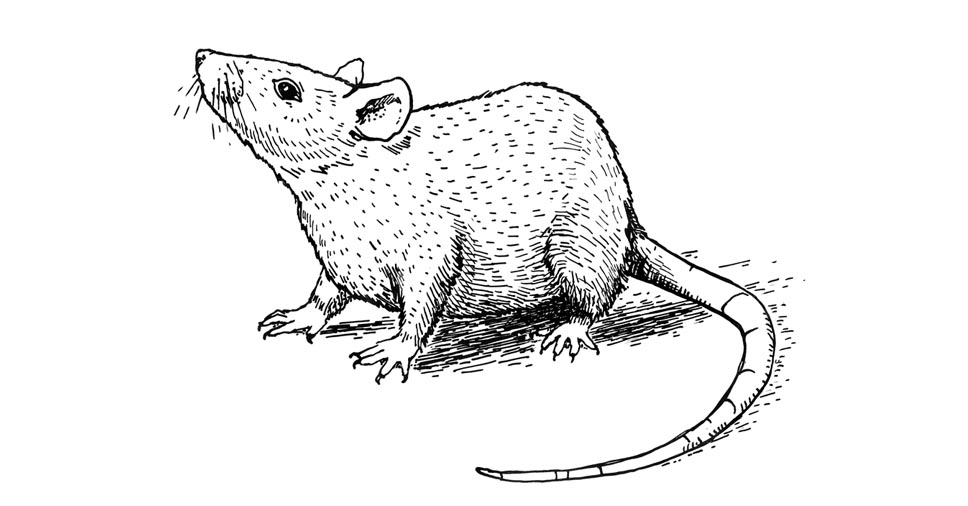 Descubra qual a diferença entre rato e camundongo