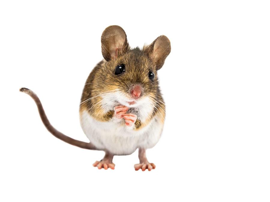 Gênero é diferença entre rato e camundongo