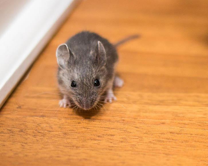 diferença entre rato e camundongo rato