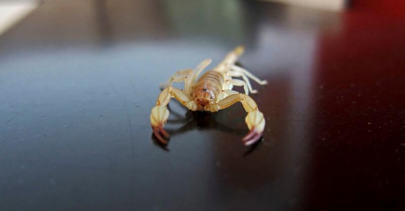 Conheça os principais tipos de escorpião no Brasil