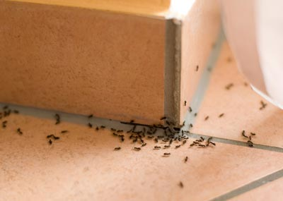 formigas pretas no canto da parede