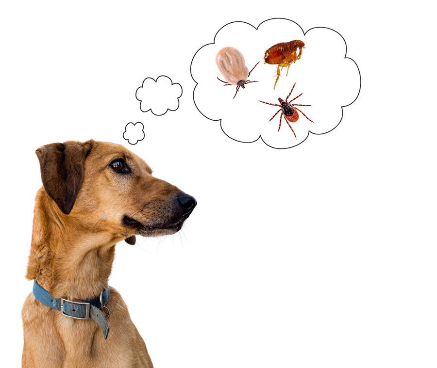 Na imagem aparece um cachorro, pulgas e carrapatos. As doenças transmitidas por pulgas afetam principalmente os animais.