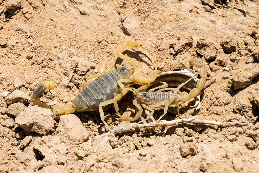 Foto da reprodução dos escorpiões em andamento