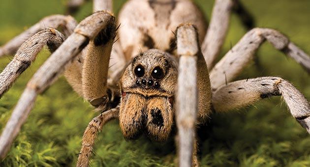 aranha armadeira é uma das aranhas mais venenosas do Brasil