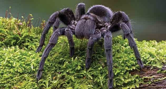 caranguejeira é uma das aranhas mais venenosas do Brasil