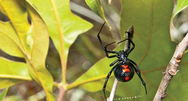 viúva negra é uma das aranhas mais venenosas do Brasil