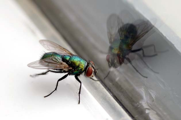 mosca olhando seu reflexo
