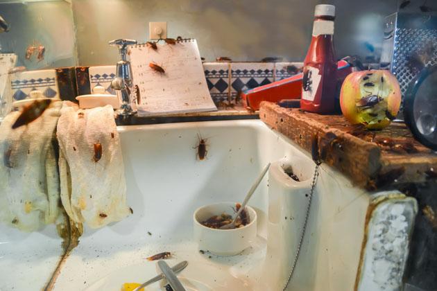 Infestação de baratas