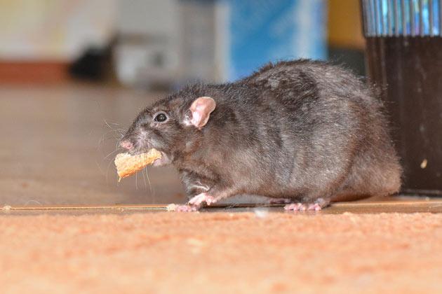 Rato no quintal comendo sobra de comida
