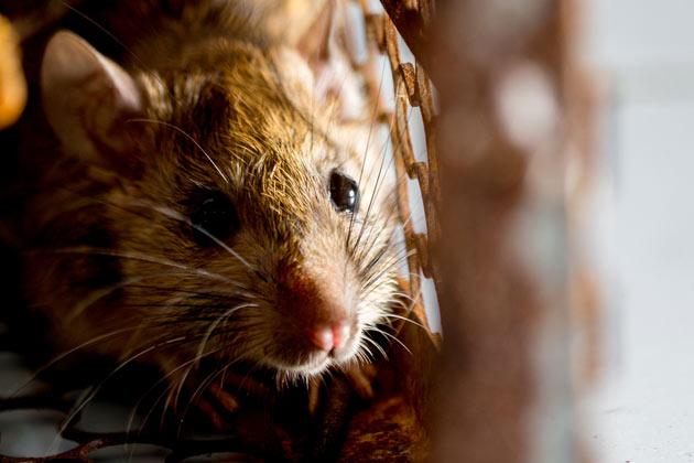 Rato em primeiro plano dentro do tijolo