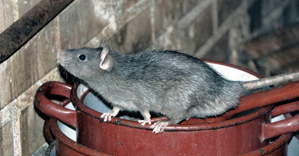 Rato no quintal sobre uma panela cheirando a parede