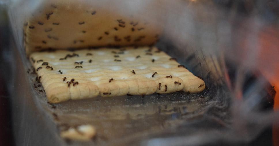 Formigas na cozinha: 6 formas de acabar com elas!