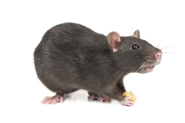 veja a diferença entre rato e ratazana