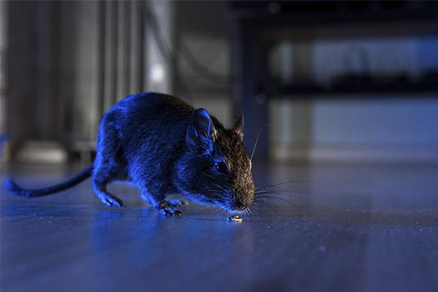 descubra a diferença entre rato e ratazana