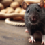 imagem de roedor que pode exemplificar a diferença entre rato e ratazana