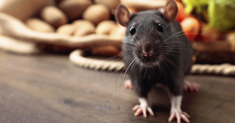 Você sabe qual a diferença entre rato e ratazana?