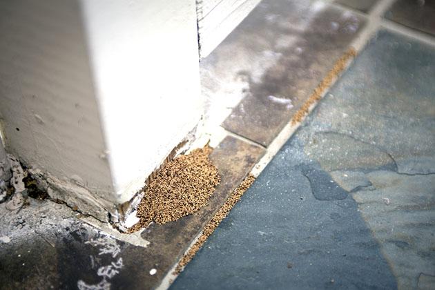 amontoados de cupins no chão indicam infestação de cupins