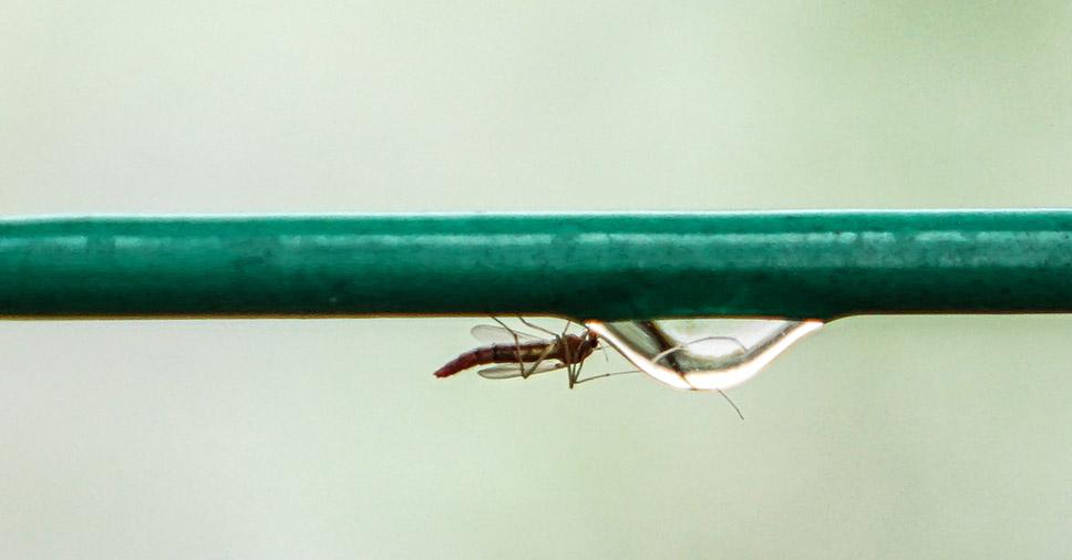 Mosquito na época de prevenção das pragas urbanas