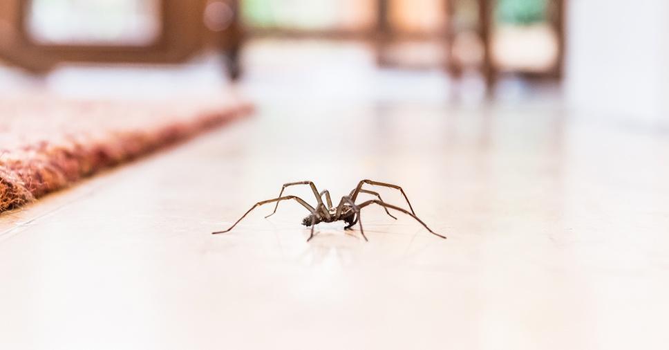 Saiba como evitar aranhas em casa em 6 dicas!
