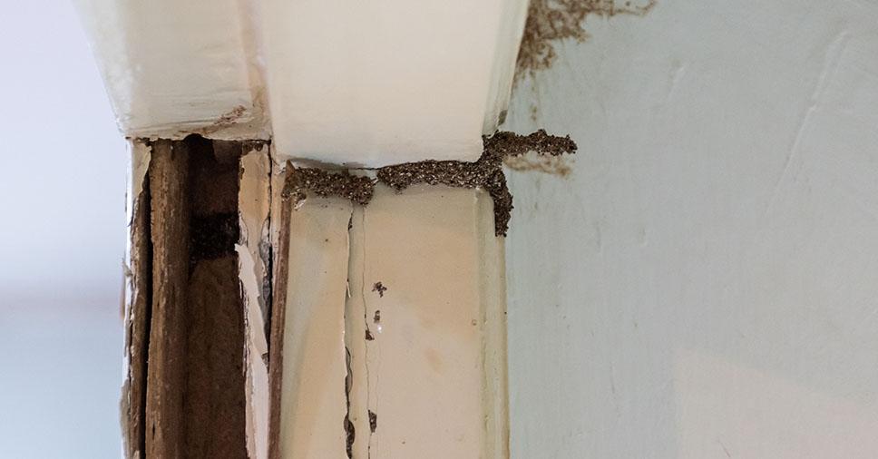 Identificou uma colônia de cupins na porta? Veja o que fazer!